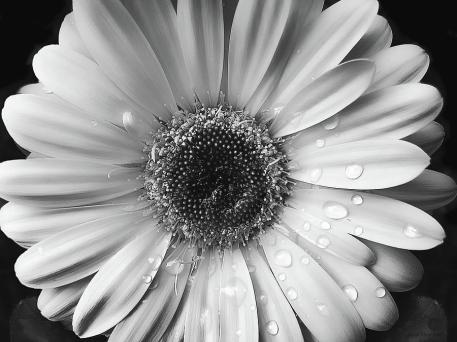 raindrops-on-gerber-daisy-black-and-white-jennie-marie-schell